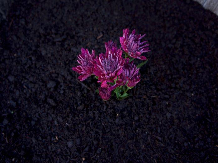 SPVS | Purple Flower