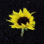 SPVS | Yellow Flower