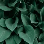 SPVS | Beautiful Hostas