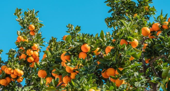 Healthy Orange Tree