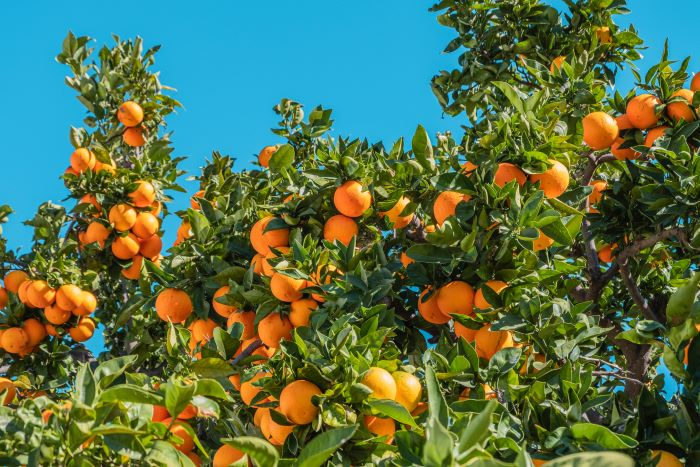 Healthy Orange Tree