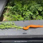 Carrot grown with SPVSoil