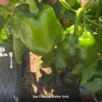 Green Peppers grown with SPVSoil