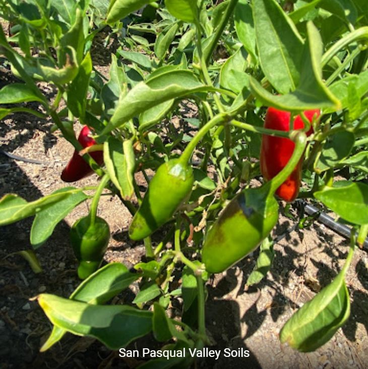 Green and Red Peppers grown with SPVSoil