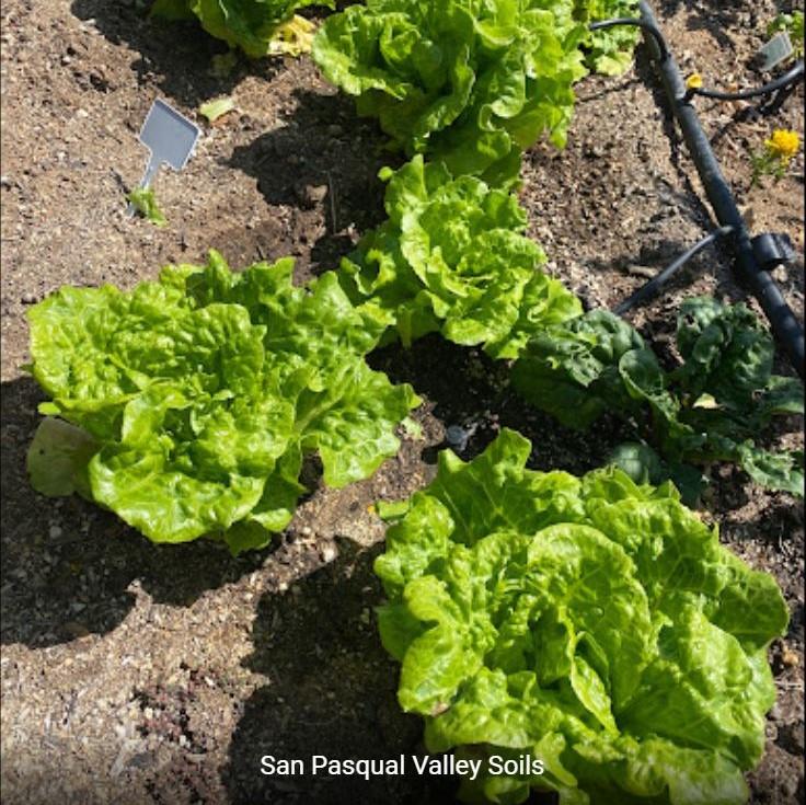 Lettuce grown with SPVSoil