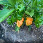 Orange Peppers grown with SPVSoil