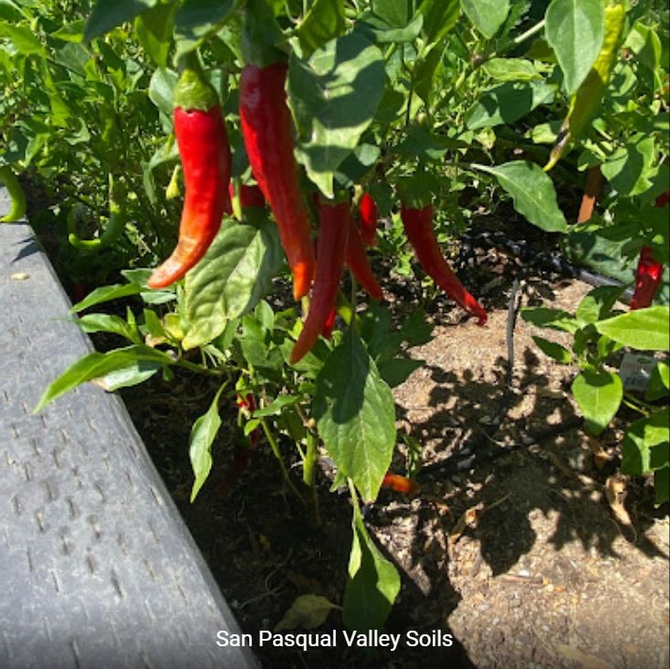 Red Chili Peppers grown with SPVSoil