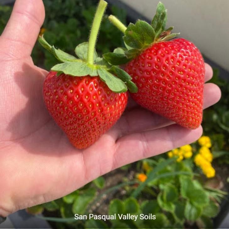 Strawberries grown with SPVSoil